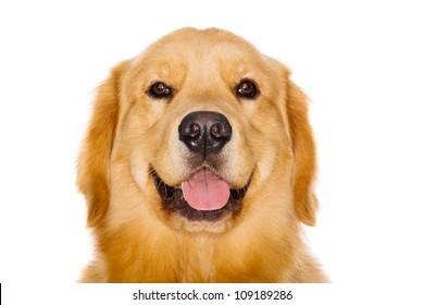 Handsome pure breed golden retriever dog