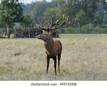 a handsome red deer