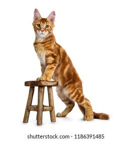 Handsome red Maine Coon cat kitten standing side ways with front paws on little brown stool looking straight in lens, isolated on white background