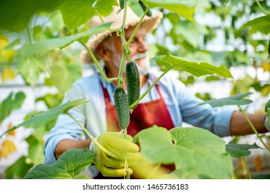Handsome senior man growing cucumbers in the hothouse on a small agricultural farm. Concept of a small agribusiness and work at retirement age