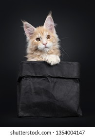 Black Silver Maine Coon Cat Images, Stock Photos & Vectors