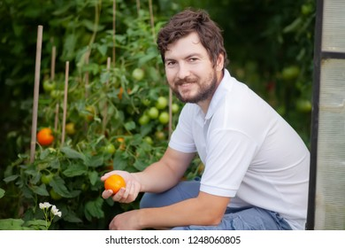 Handsome smiling farmer men eating organic yellow tomato in the greenhouse, agriculture