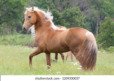 handsome studly Palomino Morgan Stallion outside flaunting himself in a pasture mane and tail blowing in the wind with green trees in the background