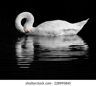 A handsome Swan preening on a tranquil lake.