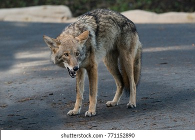 Handsome Urban Coyote - San Francisco