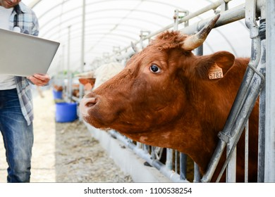 handsome veterinary in a small breeding husbandry farming production taking care of charolais cow and cattle
