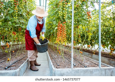 Handsome well-dressed senior man growing cherry tomatoes, sprinkling soil with fertilizer in the hothouse on a small agricultural farm. Concept of a small agribusiness and work at retirement age