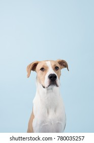 Handsome White and Tan Young Dog on Blue Background