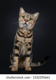 Handsome young brown tabby American Shorthair cat, sitting up facing front. Looking up with mesmerizing green eyes. Isolated on a black background.