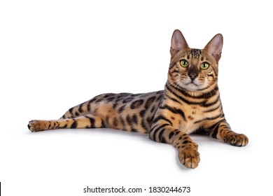Handsome young male Bengal cat laying down side ways with paw over edge, looking to camera. Isolated on white background.