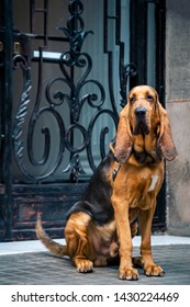 Handsome young male bloodhound sits on the street near the main entrance with a forged lattice.