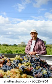 handsome young man wine maker in his vineyard looking proudly at grapes harvest in tractor trailer