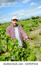 handsome young man working in vineyard picking up ripe grapes during the grapes harvest