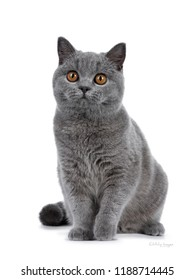 Handsome young solid blue British Shorthair cat sitting facing front, looking beside camera with orange eyes, isolated on white background