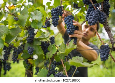 Handsome young vintner harvesting vine grapes in his vineyard (color toned image)