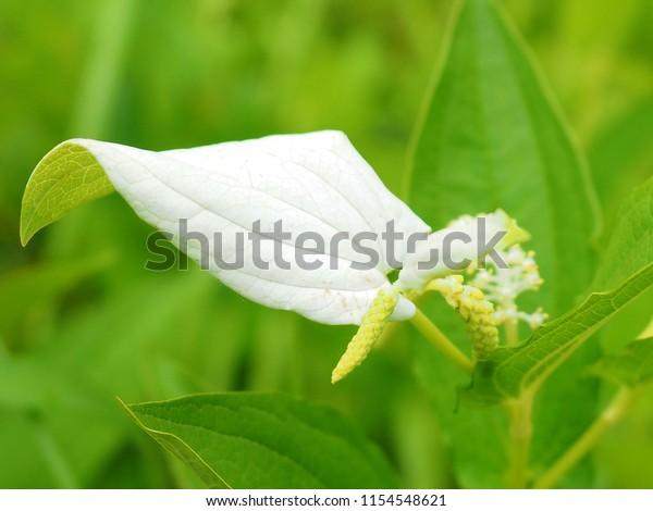 Tình yêu cây cỏ ĐV2 - Page 28 Hangesyou-saururus-chinensiscommonly-known-asian-600w-1154548621