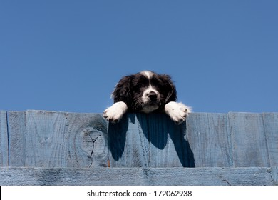 Hanging around-pretty spaniel puppy hangs over wooden blue painted fence on sunny summers day