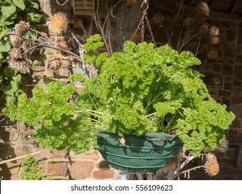 Hanging Basket of the Herb Parsley 'Bravour' (Petroselinum crispum) on an Allotment in a Vegetable garden in Rural Devon, England, UK.