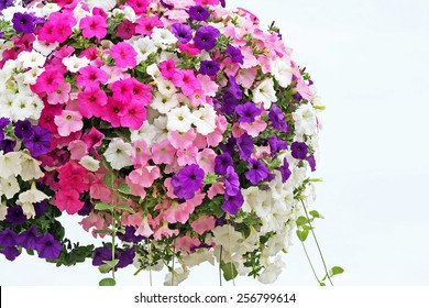 Hanging basket overflowing with colorful Petunia blooms