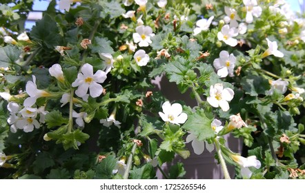 A hanging basket of Saxifraga rosacea with tiny white leaves and dark green leaves