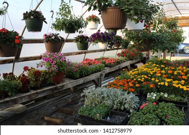 Hanging baskets with colorful flowers and flats of flowers in a greenhouse in spring