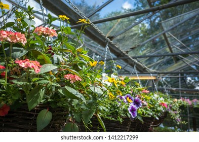Hanging baskets on display for sale in a nursery greenhouse.