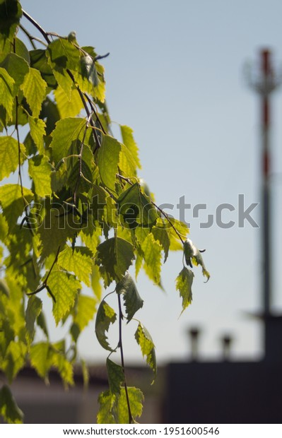 hanging-birch-branches-green-leaves-600w