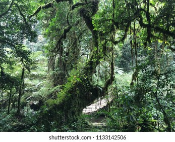 Hanging bridge and lush green jungle vegetation on a hiking trail crossing the Bwindi Impenetrable Forest in Uganda