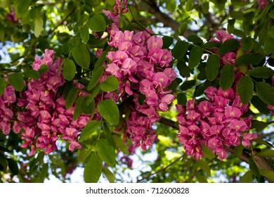 Hanging Bundle of Pink Flowers on a Blooming Black Locust Tree in Early Spring