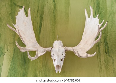 Hanging elk skull