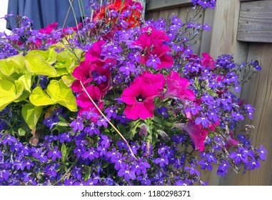 Hanging flower basket over flowing with beautiful pink petunias, blue lobelia, and ivy.