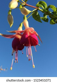 hanging flower, beautiful fucshia flower up close.