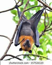 Hanging flying fox or big bat with big eyes opening while hanging on the tree branch