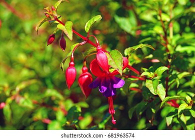 Hanging fuchsia flowers in shades of pink and purple