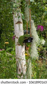 A hanging garden on a birch with air plants like spanish moss or tillandsia usneoides.