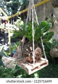Hanging kokedama with plant