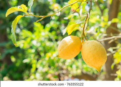 hanging Lemon Fruits in Lemon garden of Sorrento at summer