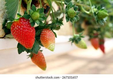 Hanging method of growing strawberries in greenhouses