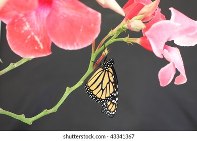 Hanging Monarch Butterfly