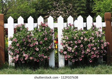 Hanging on white picket fence purple flower baskets