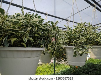 Hanging pots of rubber plants (Peperomia obtusifolia)