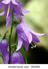 Hanging Purple Flowers