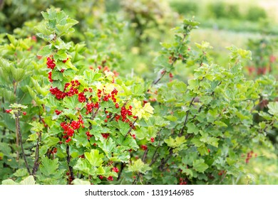 Hanging red currant berries ripening on stem of plant bush with bokeh in Russia or Ukraine garden dacha farm with vibrant color