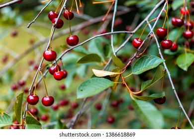 Hanging red sour cherry berries ripening on tree in Russia or Ukraine garden dacha farm closeup of fruit