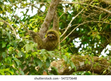 Hanging Sloth in Tortuguero, Costa Rica