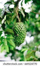 Hanging soursop fruit of Annona muricata tree. Also known as graviola or guyabano or prickly custard apple. May help fight cancer and treat infections. Portrait orientation. Selective focus.