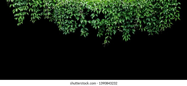 Hanging vines ivy foliage jungle bush, heart shaped green leaves climbing plant nature backdrop banner isolated on black background with clipping path.