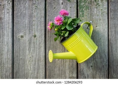 Hanging watering can with pink Dahlia flower on old wooden wall of garden shed. Copy space for text.