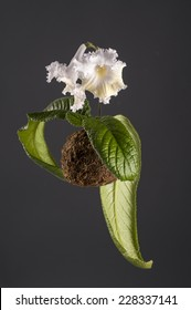 Hanging white flower of streptocarpus in a moss ball over grey background. Japanese art of kokedama.
