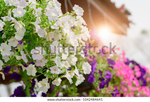 Hanging white Petunia flower Pot Containing on The Roof with sun light on morning